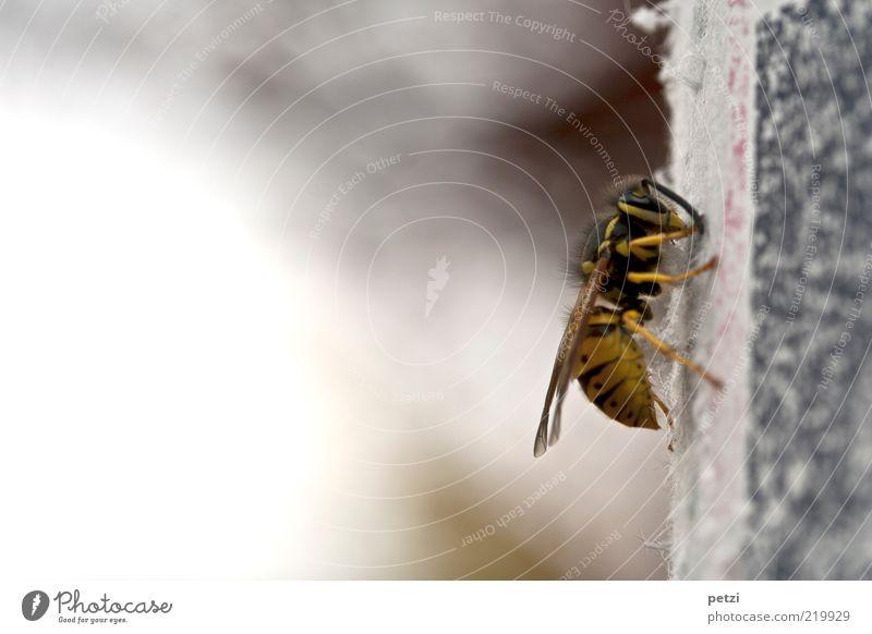 Black Animal Yellow Gray Animal face Wing Upward Wasps Warning colour