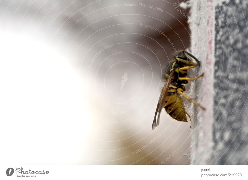 common wasp Animal Animal face Wing 1 Yellow Gray Black Colour photo Exterior shot Deserted Copy Space left Copy Space top Copy Space bottom Day