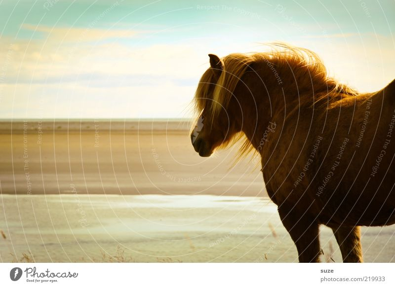 looking away Beautiful Beach Ocean Nature Landscape Animal Sky Clouds Wind Coast Farm animal Wild animal Horse Stand Wait Esthetic Natural Moody Mane Iceland