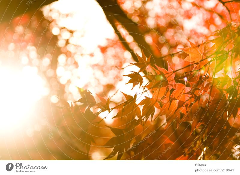 english autumn sun Sun Nature Sky Autumn Tree Leaf Forest Bright Yellow Green Orange Red Moody Deciduous tree Dazzle Branch Autumnal Autumnal colours