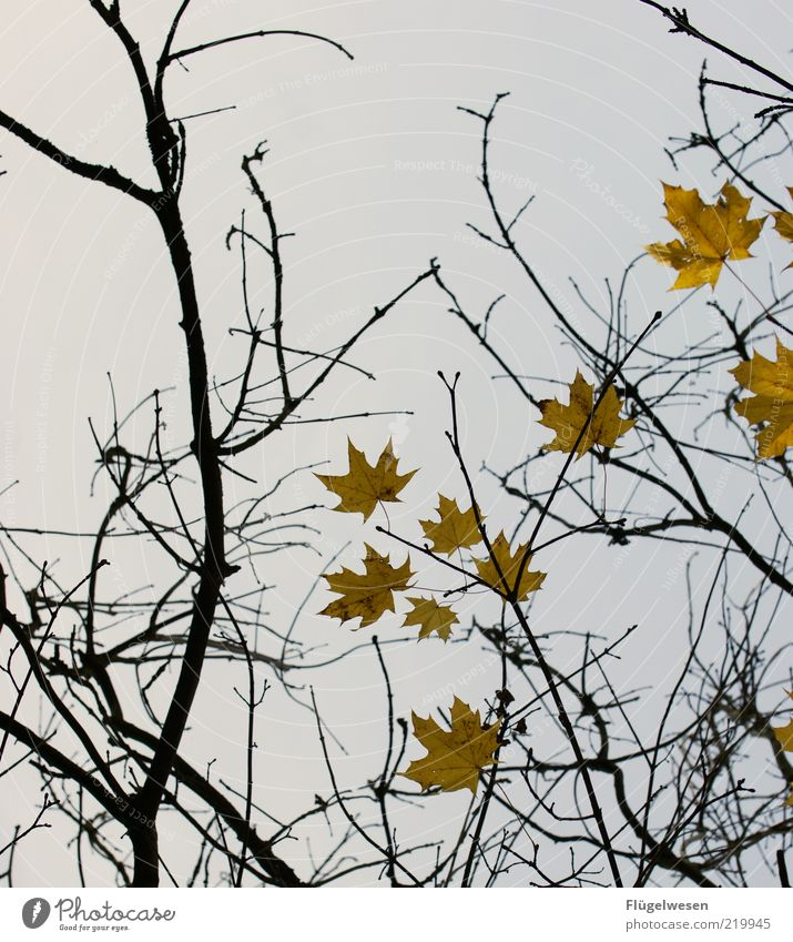 Plant Leaf Autumn Grief Branch Twig November Autumn leaves Maple tree Twigs and branches Autumnal Leafless Autumnal colours Early fall Autumnal weather Autumn wind