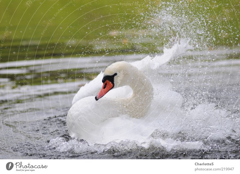 White Beautiful Animal Life Lake Waves Glittering Elegant Drops of water Swimming & Bathing Wild animal Wing Exceptional Pond Brook