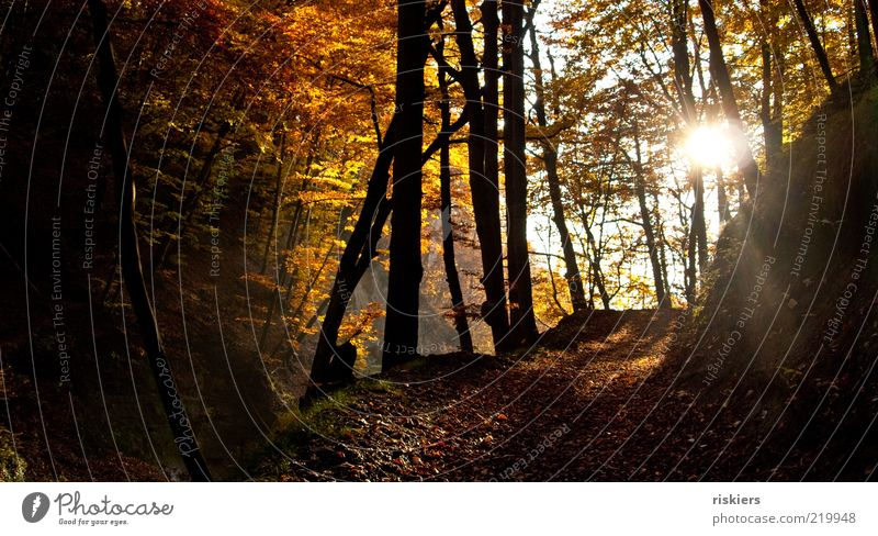 Nature Sun Forest Autumn Landscape Moody Bright Environment Peace Idyll Footpath Upward Beautiful weather Autumn leaves Autumnal Autumnal colours