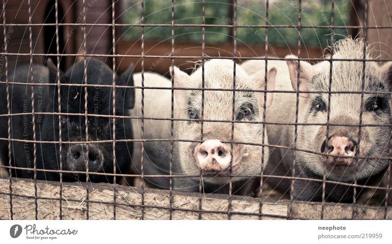 integration policies Animal Swine 3 Group of animals Bizarre Grating Captured Black Pig's snout Bristles Farm Colour photo Subdued colour Exterior shot Deserted