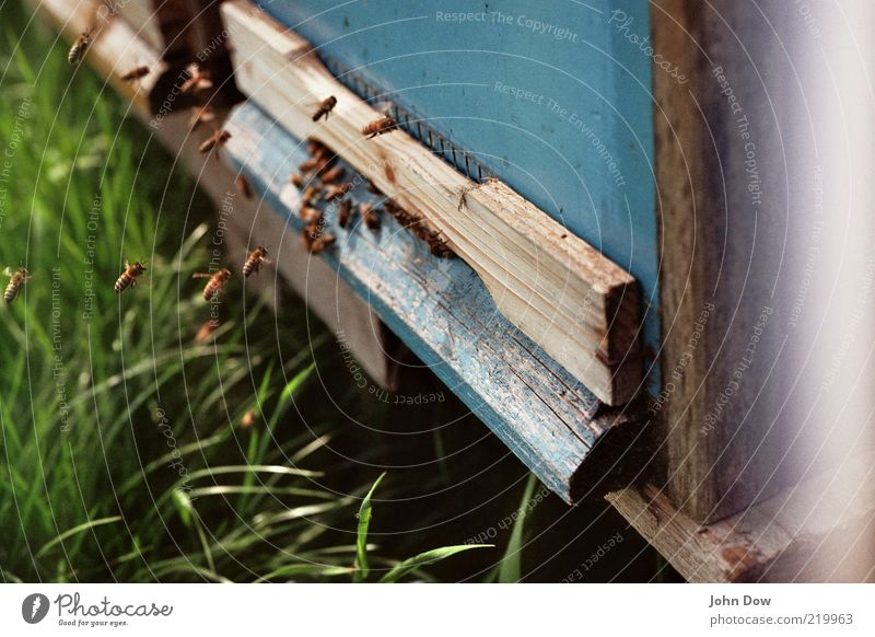 landing approach Beautiful weather Grass Meadow Animal Farm animal Bee Group of animals Flock Flying Diligent Disciplined Nature Honey bee Beehive Apiary Buzz