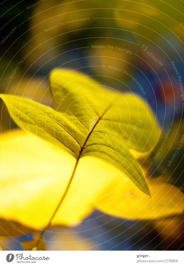 Nature Plant Leaf Yellow Environment Bright Gold Esthetic Beautiful weather Seasons Stalk Autumn leaves Climate change Autumnal colours Rachis