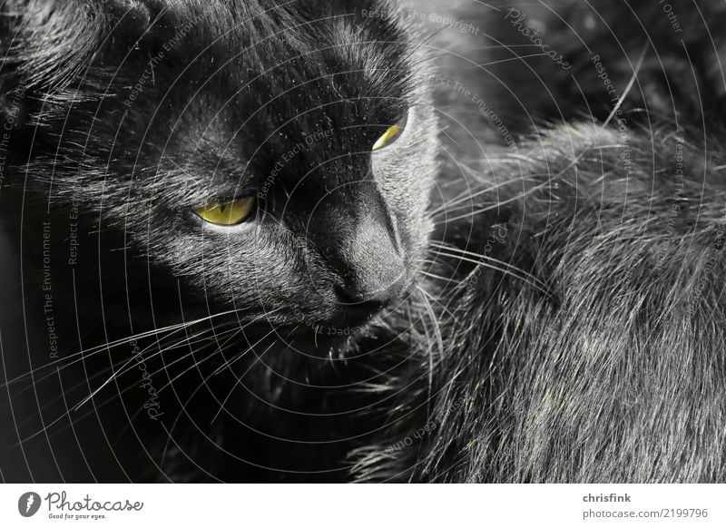 "Black cat Animal Cat 1 Observe Looking Wait Esthetic Yellow Gray Attentive Watchfulness Pet Domestic cat Hair and hairstyles Pelt ""Eyes,"" Facial hair"