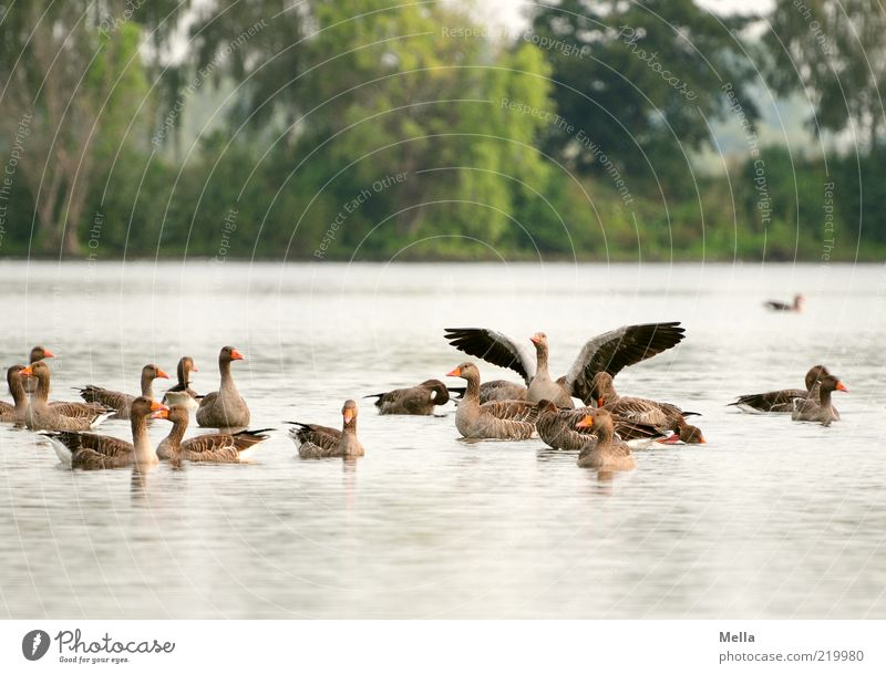 In the morning at the lake Environment Nature Water Park Lakeside Pond Animal Wild animal Bird Goose Gray lag goose Wild goose Group of animals Together Natural