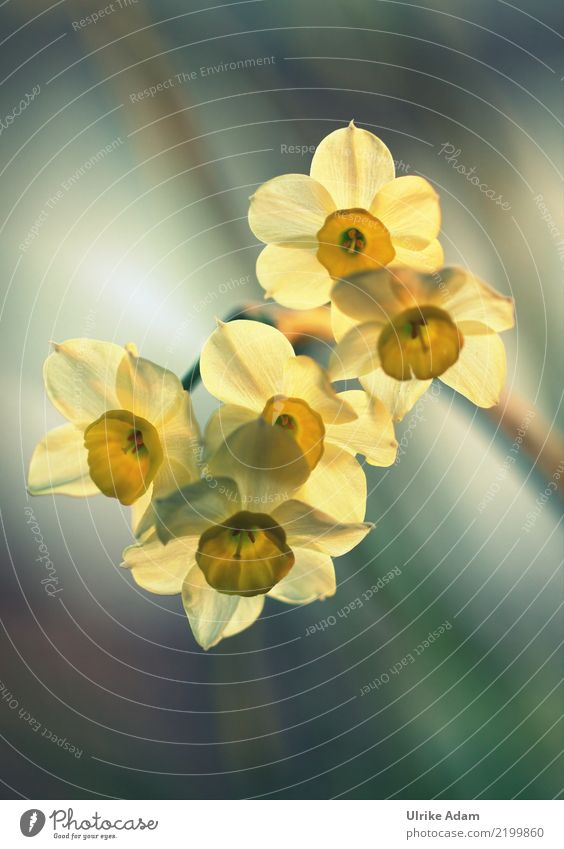 Light-flooded yellow daffodils (Narcissus) Design Harmonious Relaxation Calm Meditation Decoration Wallpaper Image Card Easter Nature Plant Spring Flower