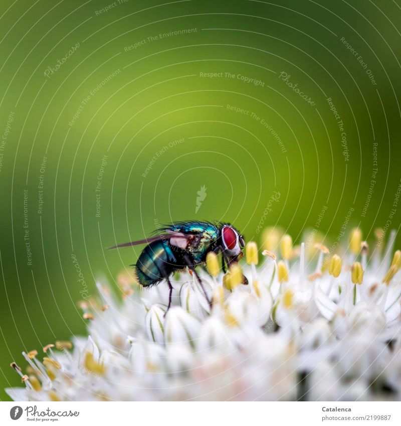 reminiscences Nature Plant Animal Summer Blossom Leek vegetable Garden Fly Blowfly 1 Flying To feed Fragrance Yellow Green Red Black Turquoise White Life
