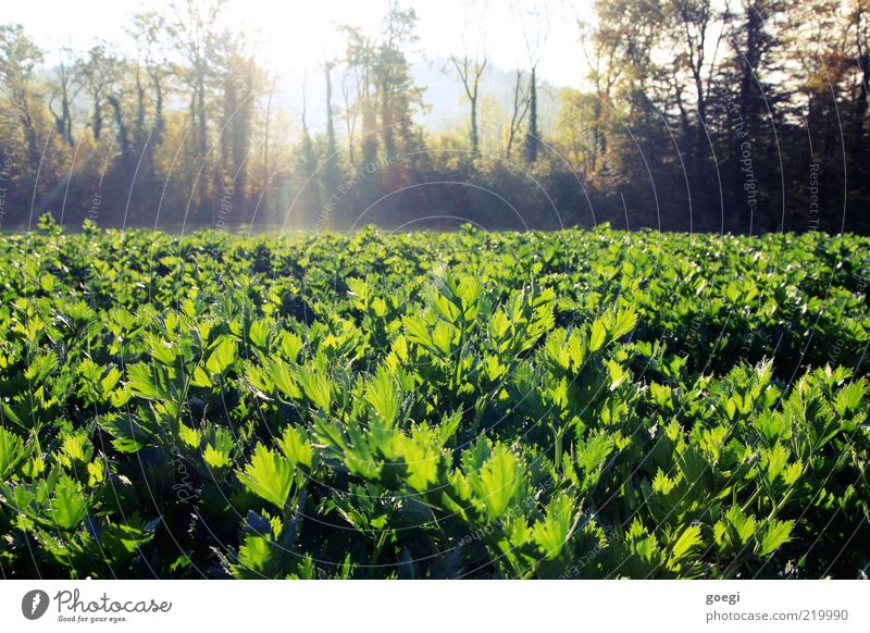 celery Food Vegetable Environment Nature Landscape Plant Sky Sun Sunlight Autumn Beautiful weather Tree Agricultural crop Celery Field Healthy Natural