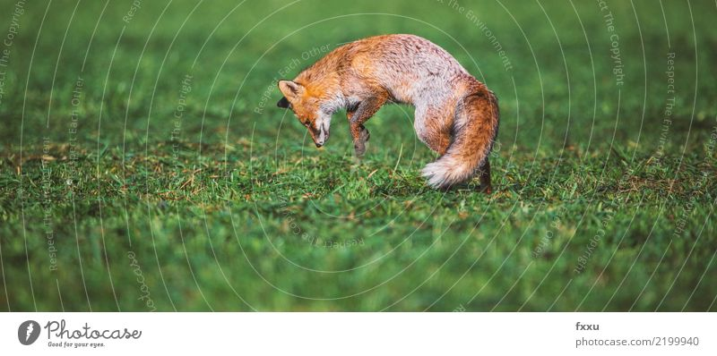 Fox and mouse Animal Nature Mammal Forest Wild animal Cute Animal portrait Meadow Field Close-up Jump Food forest dwellers Orange Exterior shot