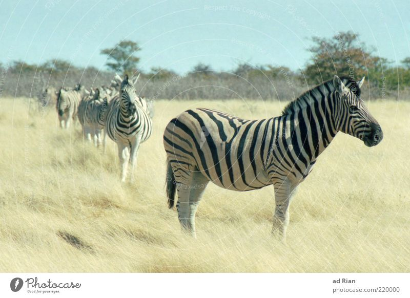 Nature Sky Animal Grass Multiple Wild animal Safari Zebra Herd Free-living Free-roaming Behind one another