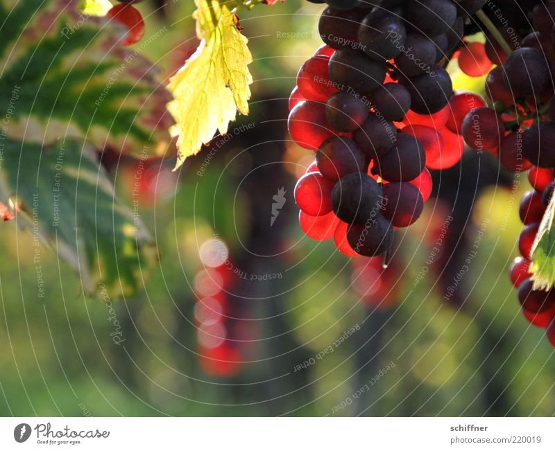Pinot Noir on Stock II Agricultural crop Illuminate Sweet Bunch of grapes Wine growing Vine leaf Delicious Lovely Nutrition Blur Red Sunlight X-rayed
