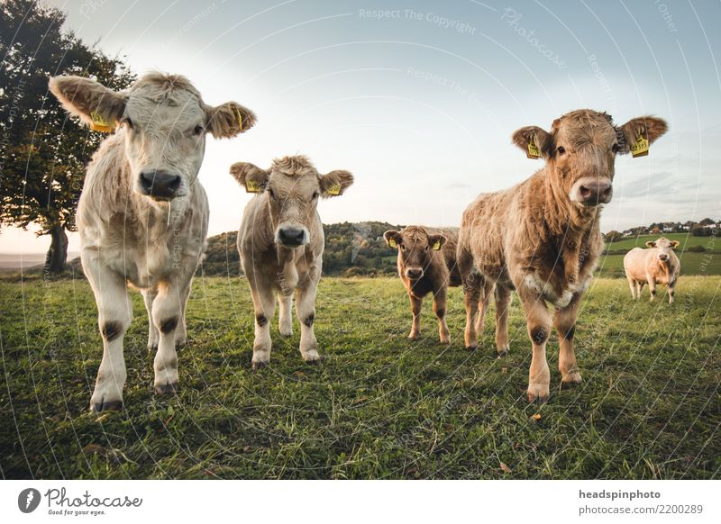 Group of four young cattle on a pasture Environment Autumn Beautiful weather Meadow Field Pasture Agriculture Farmer Animal Farm animal Cow Cattle Bull 4