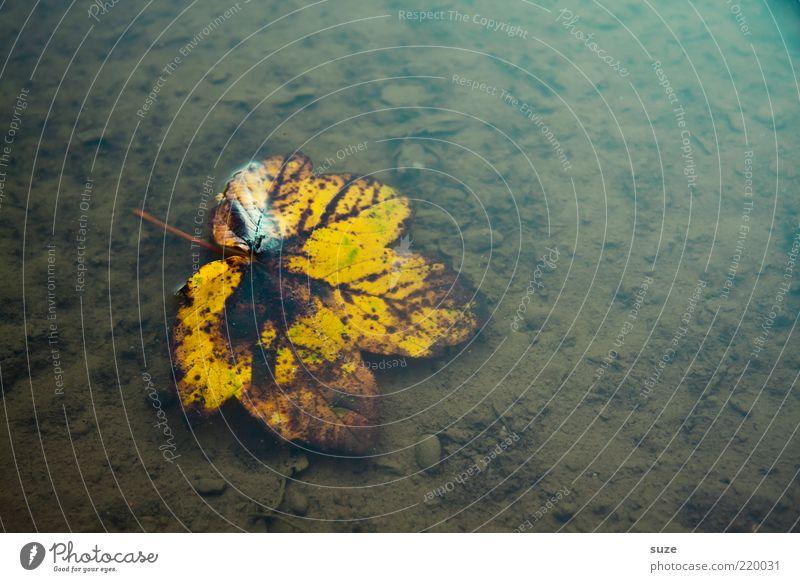 leaf, wet Nature Water Autumn Weather Leaf Old Esthetic Authentic Wet Natural Beautiful Brown Yellow Grief Transience Change Autumn leaves Autumnal Seasons