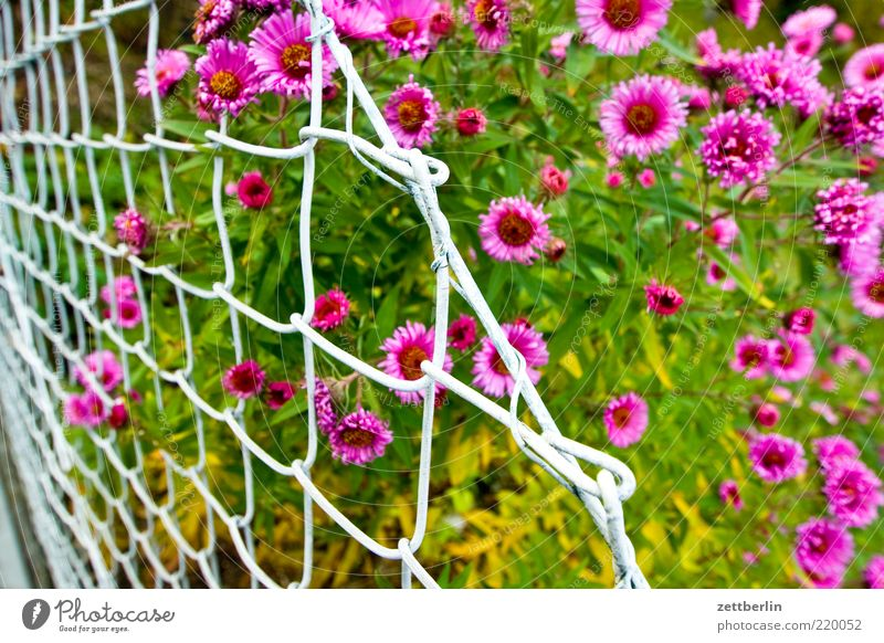 Nature Plant Red Summer Leaf Blossom Garden Pink Fresh Climate Stalk Blossoming Fence Juicy Brandenburg Loop
