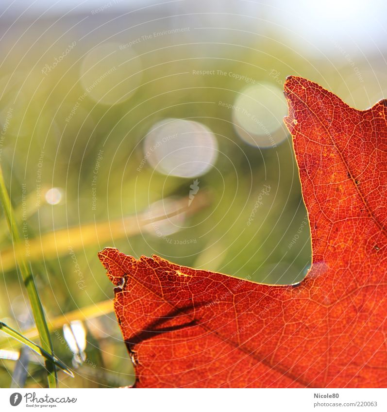 Nature Green Plant Red Leaf Meadow Autumn Grass Environment Blade of grass Beautiful weather Rachis Autumn leaves Lens flare Autumnal colours Oak leaf