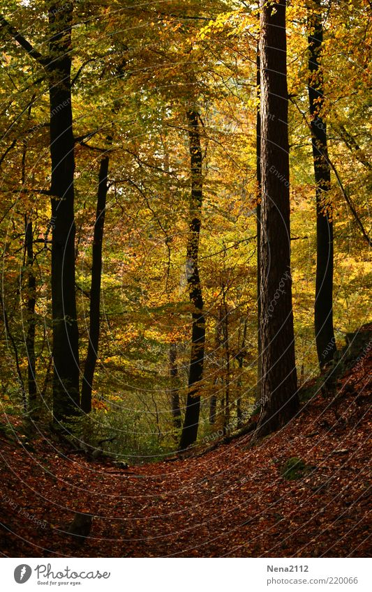 Nature Tree Leaf Yellow Forest Autumn Lanes & trails Landscape Brown Lighting Weather Environment Earth To go for a walk Climate Illuminate