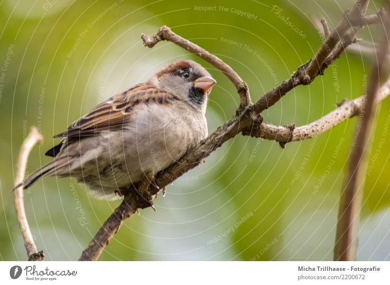 Plump Sparrow Environment Nature Animal Sun Sunlight Weather Beautiful weather Plant Tree Branch Twig Wild animal Bird Animal face Wing Claw Beak Passerine bird