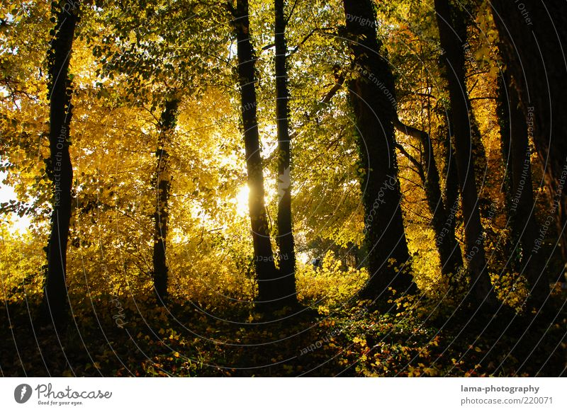 Nature Tree Leaf Yellow Forest Autumn Gold Illuminate Tree trunk Autumn leaves Woodground Shadow Sunbeam Light Autumnal Autumnal colours