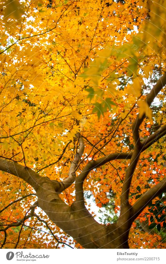Fall Color Maple Leaves at the Forest in Aichi, Nagoya, Japan Beautiful Vacation & Travel Mountain Garden Nature Plant Sky Autumn Tree Leaf Park Wild Yellow