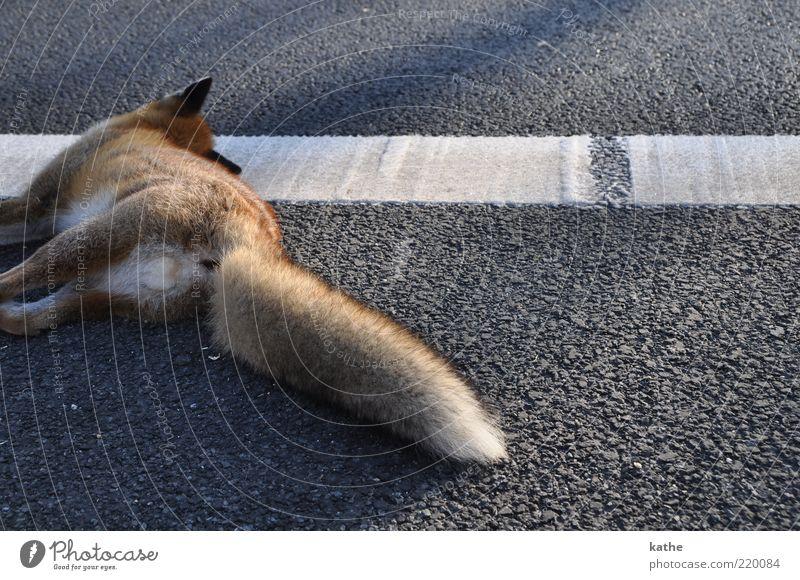 Animal Street Emotions Death Brown Grief Accident Lie Asphalt Wild Pelt Wild animal Cuddly Tar Roadside Sacrifice