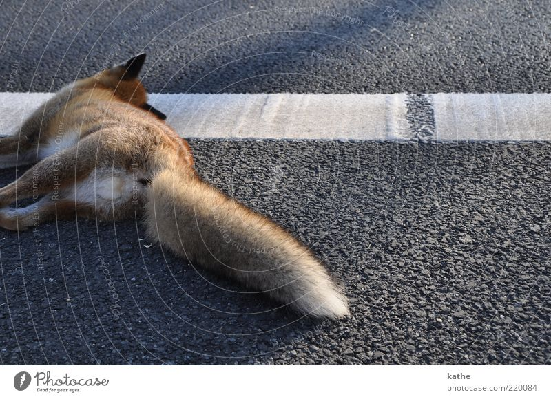 Sleeps only Animal Traffic accident Street Wild animal Dead animal Pelt 1 Cuddly Brown Emotions Grief Death Colour photo Exterior shot Copy Space right Evening