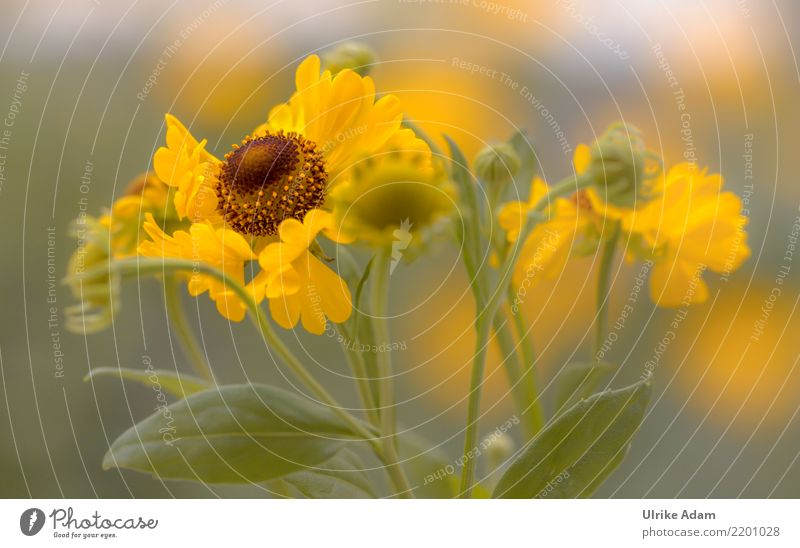Yellow flowers of the sun bride (Helenium) Harmonious Well-being Contentment Senses Relaxation Calm Meditation Wallpaper Valentine's Day Nature Plant Summer