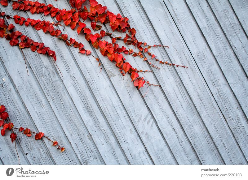 Nature Blue Plant Red Calm Leaf Colour Life Environment Growth Threat Firm Tendril Ivy Wooden wall Autumnal colours