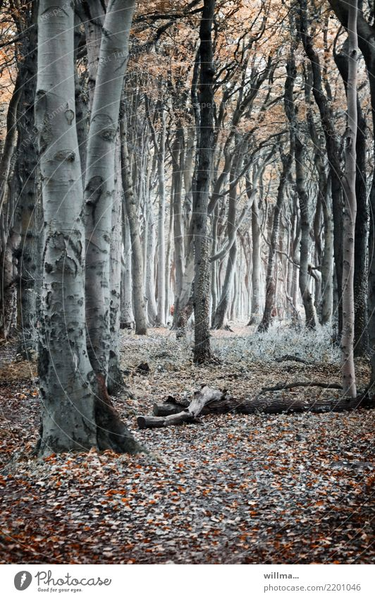Autumnal forest with beech trees in the ghost forest beeches Forest Nature reserve coastal forest Ghost forest Nienhagen Mecklenburg-Western Pomerania