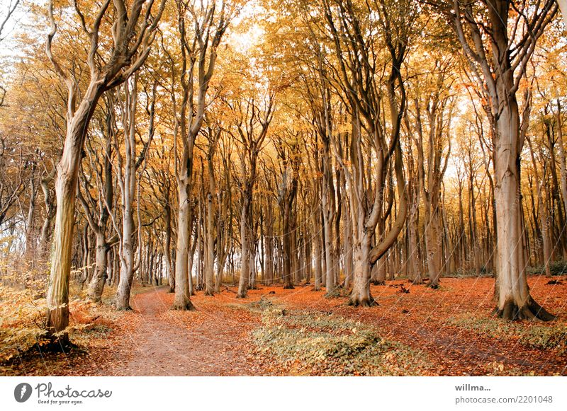 Stammpersonal | ambiguous Autumn Beech tree Tree Autumnal colours Autumn leaves Automn wood Autumnal weather Forest coastal forest Ghost forest Nienhagen