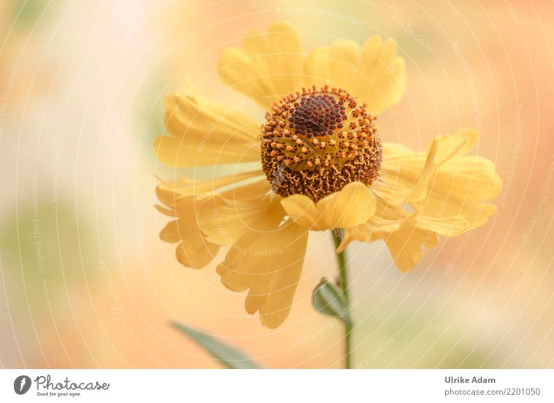 Yellow sun bride Life Harmonious Well-being Contentment Relaxation Calm Meditation Decoration Wallpaper Mother's Day Nature Plant Summer Autumn Flower Blossom