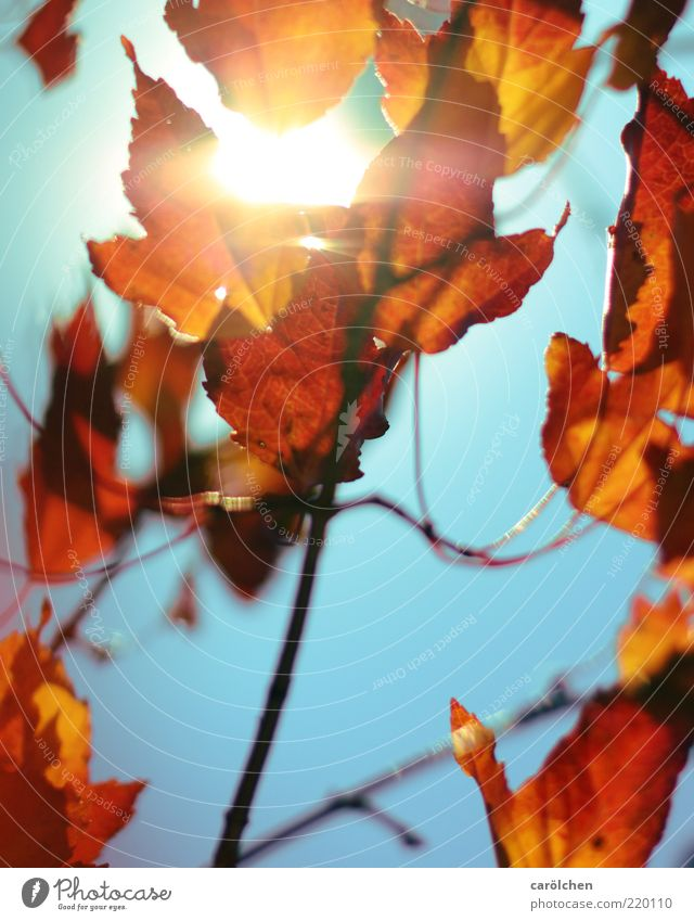 Nature Sun Blue Plant Red Leaf Yellow Autumn Park Gold Beautiful weather Blue sky Autumn leaves Twigs and branches Autumnal Autumnal colours