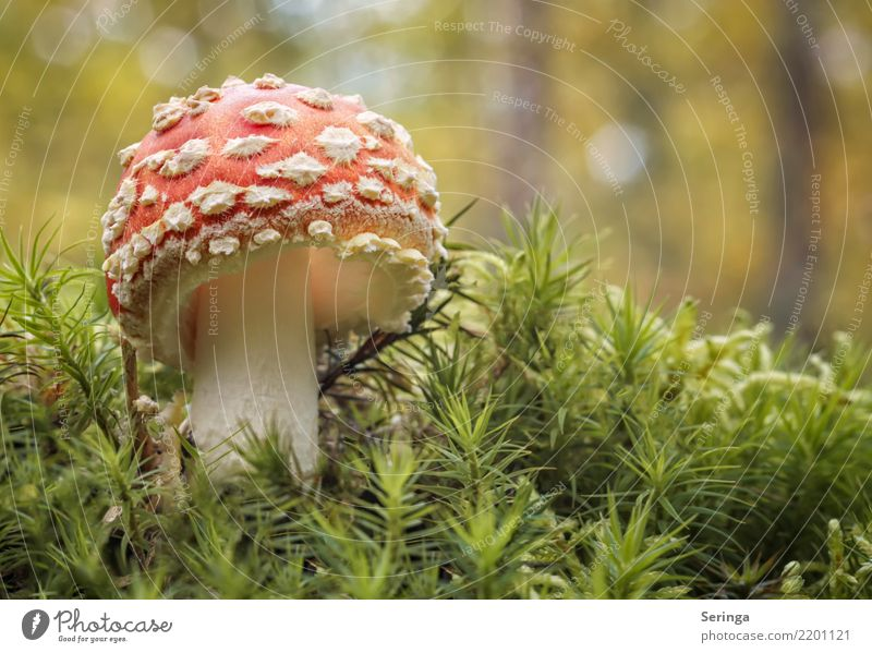 retro look Nature Plant Animal Autumn Grass Moss Fern Park Forest Growth Amanita mushroom Mushroom Mushroom cap mushroom slats Mushroom picker Mushroom soup