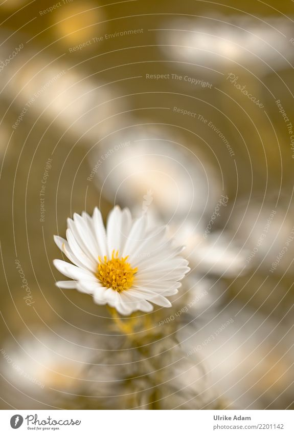 Nature Plant White Flower Autumn Blossom Garden Park Blossoming Simple Delicate Autumnal Aster Edgewise
