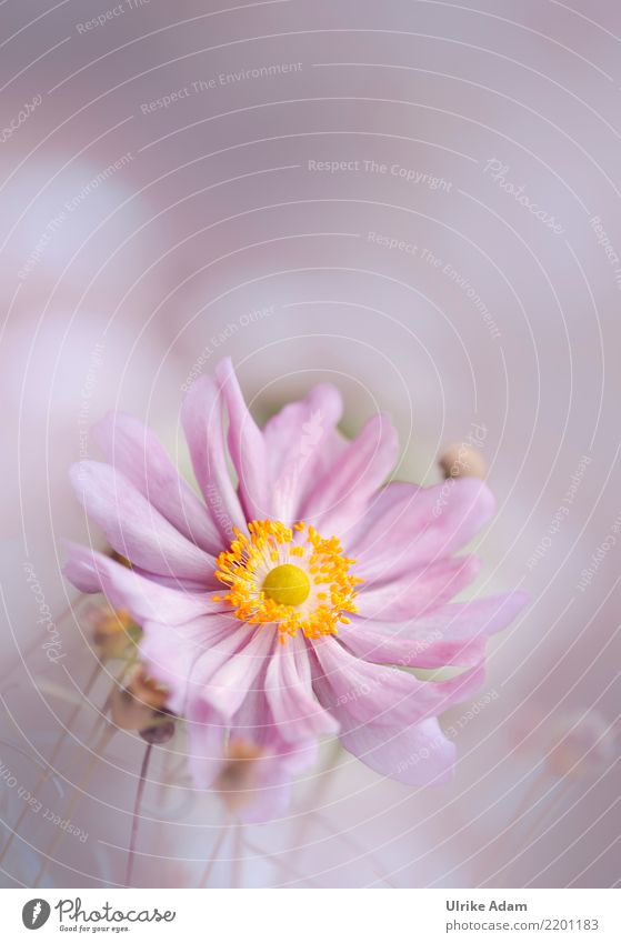 Pink Anemone Elegant Design Harmonious Well-being Contentment Relaxation Calm Decoration Wallpaper Nature Plant Summer Autumn Flower Blossom Chinese Anemone