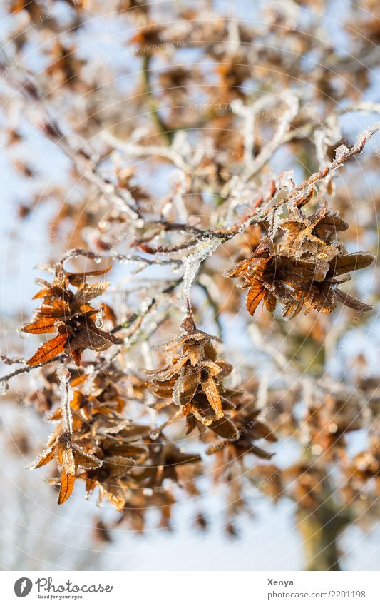 Iced branches Nature Plant Winter Frost Tree Leaf Park Wood Freeze Cold Blue Brown Twigs and branches Shriveled Colour photo Exterior shot Deserted