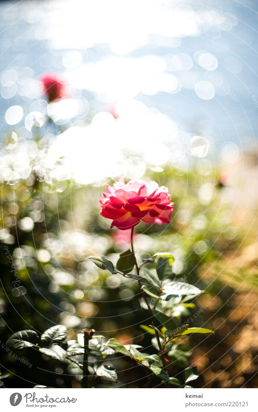 Nature Water Flower Plant Summer Leaf Autumn Blossom Garden Park Warmth Glittering Pink Environment Rose Growth