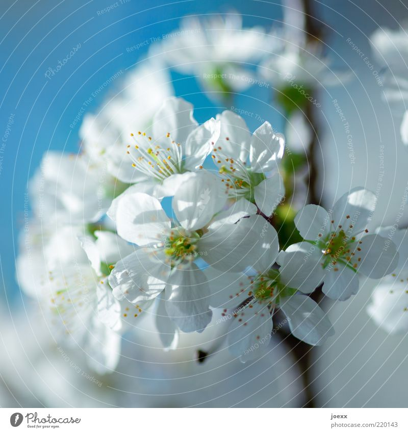 Nature White Tree Green Blue Blossom Spring Pure Natural Beautiful weather Blue sky Blossom leave Cherry blossom Twigs and branches Macro (Extreme close-up) Agricultural crop