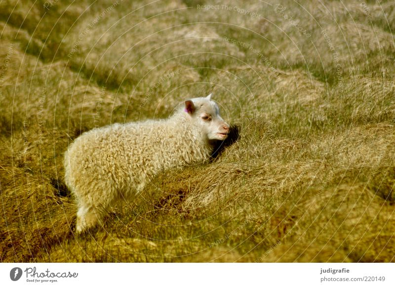 Nature Plant Animal Grass Moody Small Environment Wild Natural Pelt Idyll Fat Iceland Sheep Pet Wool