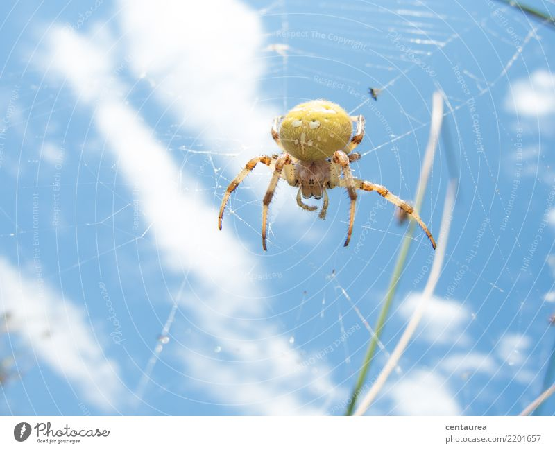 Spider in the afternoon Nature Animal Summer Garden Park Meadow 1 Observe Near Blue Yellow Net Spider's web Crawl Colour photo Exterior shot Copy Space bottom