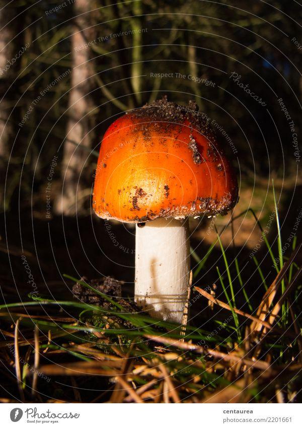 Nature White Red Forest Autumn Orange Earth Collection Mushroom Poison Mushroom picker