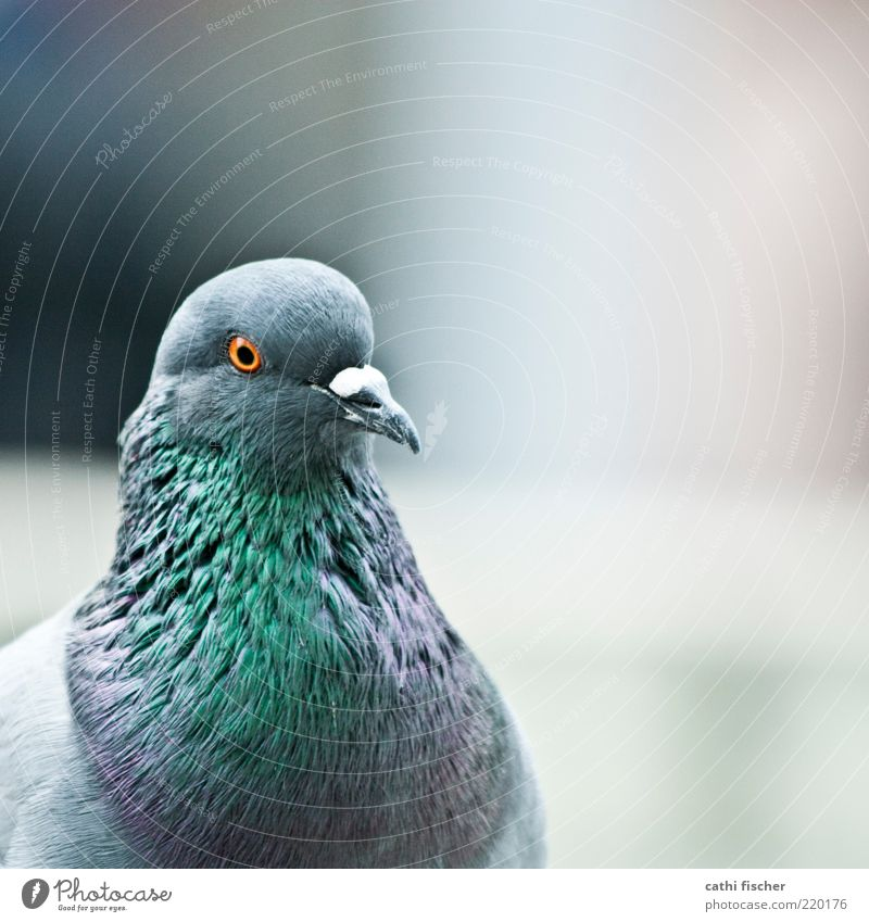 White Green Blue Black Eyes Animal Gray Orange Bird Feather Animal face Violet Square Pigeon Beak Glimmer