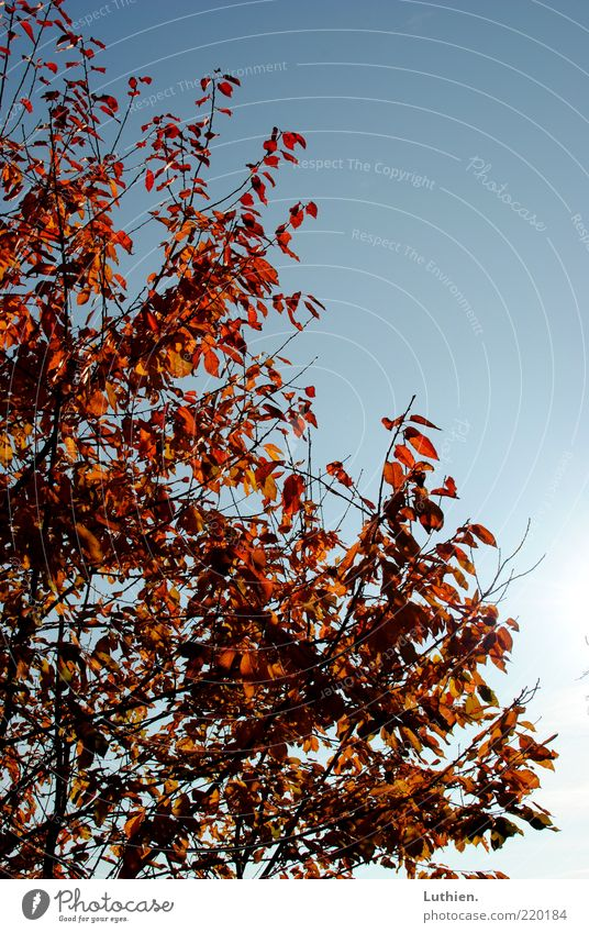 Nature Sky Tree Blue Red Leaf Autumn Growth Beautiful weather Treetop Blue sky Shriveled Autumn leaves Twigs and branches Autumnal colours