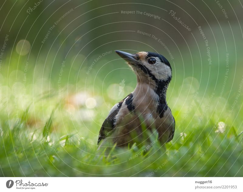 great spotted woodpecker Environment Nature Plant Animal Spring Summer Autumn Beautiful weather Grass Garden Park Meadow Forest Wild animal Bird Animal face