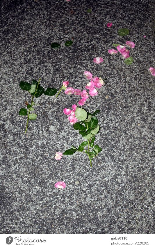 sad evening Flower Rose Leaf Blossom Street Blossoming To fall Fight Love Aggression Dark Gloomy Gray Green Pink Black Grief Lovesickness Pain Disappointment