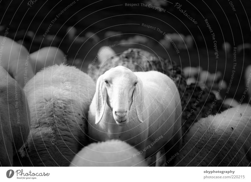 Why me? Mountain Landscape Farm animal 1 Animal Observe Wait Cry Gloomy Black White Curiosity Interest Sadness Uniqueness Feeble Sheep Funny Depth of field