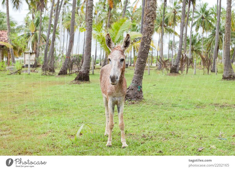 Mule portrait, Sri Lanka Kalpitiya Donkey stare Staring Portrait photograph Animal Palm tree Asia Vacation & Travel Idyll liberty Card Tourism Paradise Nature