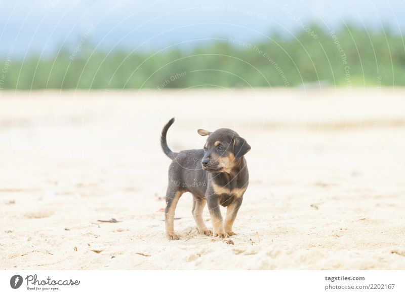 Puppy at the beach of Kalpitiya, Sri Lanka Nature Vacation & Travel Dog Summer Sun Landscape Relaxation Beach Coast Tourism Freedom Sand Idyll